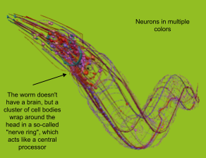 Neurons in WormBrowser