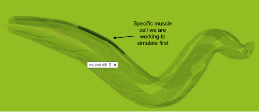 Muscle cell highlighted