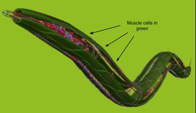 Muscle cells in c. elegans