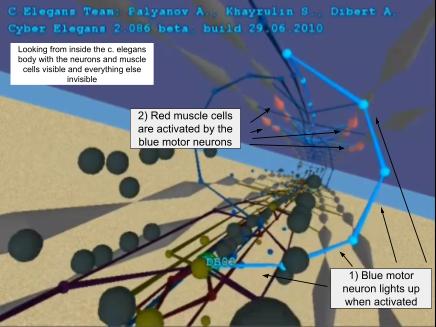 Inside the CyberElegans model