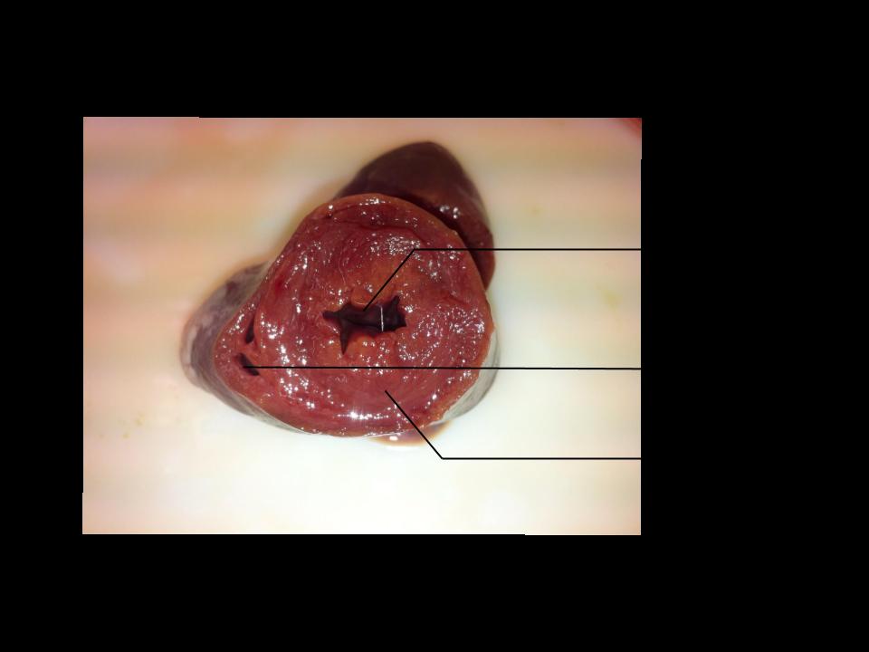 Coupe transversale d'un cœur de dinde