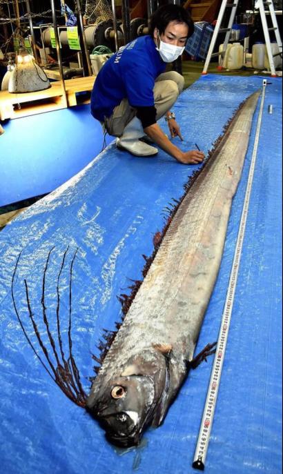 Rồng biển khổng lồ dạt vào Nhật Bản