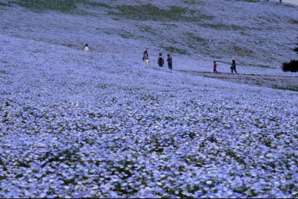 Đứng giữa những đồi hoa xanh mướt, người ta có cảm giác như đang hòa mình giữa đại dương mênh mông tựa như bầu trời đang sa dần xuống mặt đất. Ảnh: Akihiko Nakano