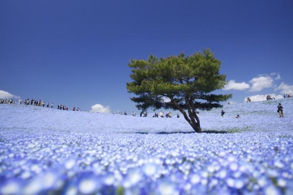 Đặc biệt nhất trong công viên là loài hoa Nemophila màu xanh dương với 4,5 triệu cây nở đồng loạt vào mùa xuân, đẹp mướt mát như bầu trời dưới mặt đất. Ảnh: Kobaken++
